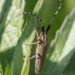Distelboktor (Agapanthia villosoviridescens)