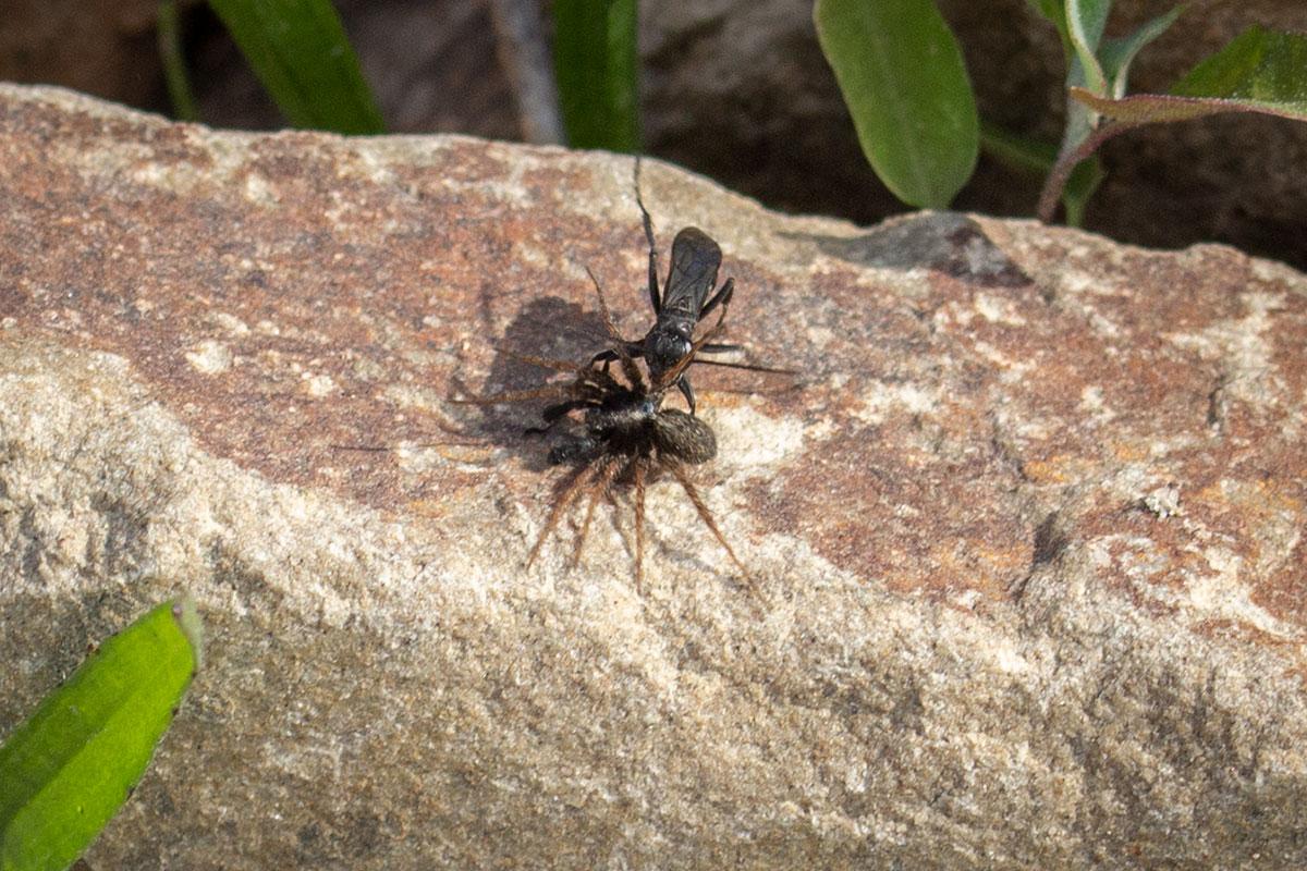 Grijze Spinnendoder